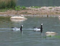 Pair of Barnacle Geese at Llangasty. 13..00 to 14.00 hrs. May 4 2008.