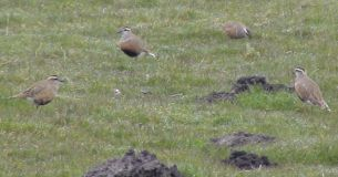 Trip of 4 Dotterel grouded by NE wind and fog.