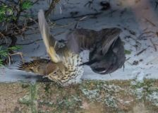 Song Thrush being harried by Blackbird