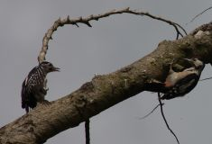 Juv' Great Spotted Woodpeckers