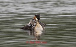 G C Grebe and young.