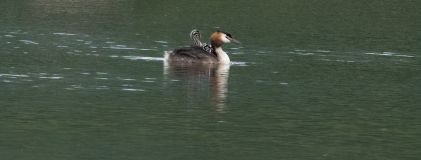 Family of Great Crested Grebes