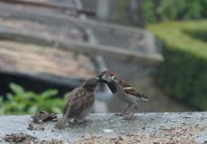 Baby Sparrow Being Fed by Adult