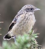 Young Stonechat, Traeth Mawr