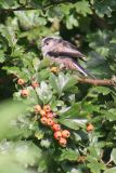 Long Tailed Tit, Llangenny
