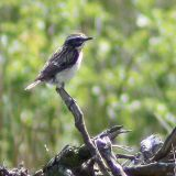 Whinchat (08/06/08)