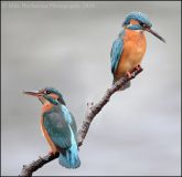 Kingfisher pairn (River Usk)