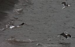 Great Black-Backed Gulls (28/06/08)