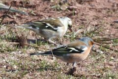 White Headed / Albino Chaffinch
