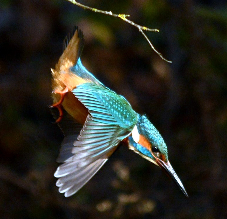 Kingfisher - Mike Williams
