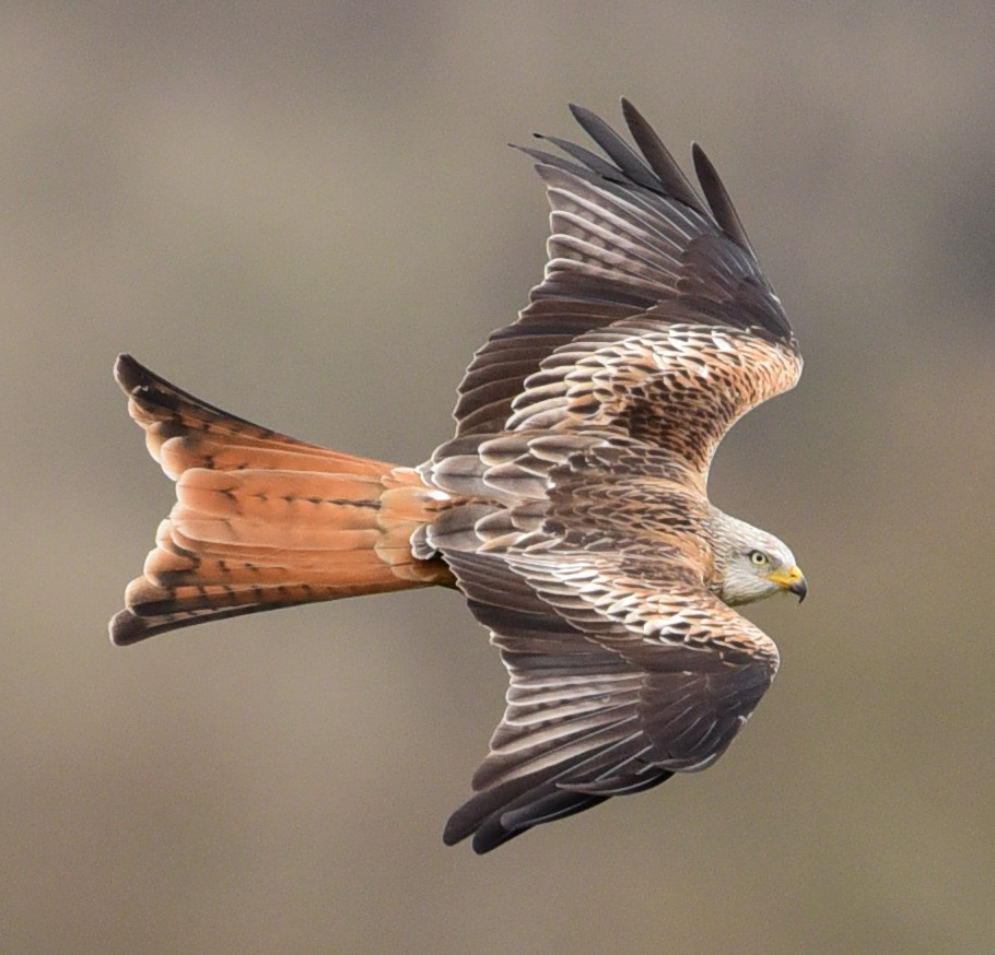 Mike Williams - Red Kite
