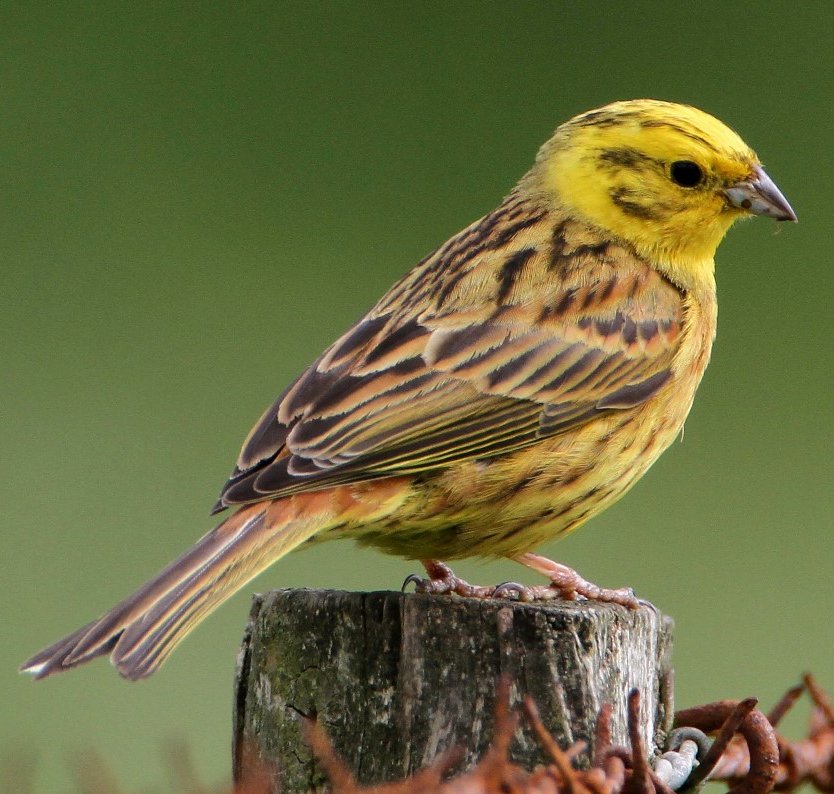 Yellowhammer - Jeff Slocombe